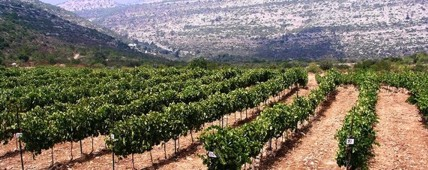 Tzora Syrah Vineyard